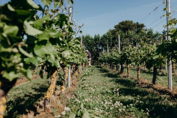 Khof-wijngaard